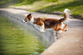 Dog border collie jumps into the water Stock Photo