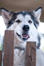 Dog breed alaskan malamute Royalty Free Stock Photo