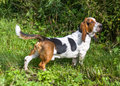 Dog breed basset hound on the grass Stock Photos