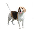 Dog of breed a beagle it is isolated white background Royalty Free Stock Image