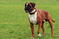 Dog breed Boxer Royalty Free Stock Photo