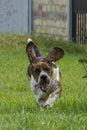 Dog of breed brasilian baset haund on walk Royalty Free Stock Photo