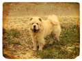 Dog breed Chow Chow. Old postcard Royalty Free Stock Photo
