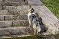 Dog breed collie is standing on the stairs, looking up