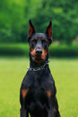 Dog breed Doberman Pinscher Royalty Free Stock Photo