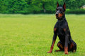 Dog breed Doberman Pinscher