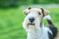 Dog breed fox terrier against green of park in summer Royalty Free Stock Photography