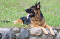 Dog breed german shepherd lies on the grass Royalty Free Stock Image