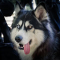 Dog Breed Husky Stock Photography