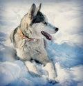 Dog breed Husky Royalty Free Stock Photo