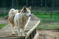 Dog of breed husky on wooden platform in the aviary Stock Image