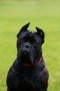 Dog breed Italiano Cane Corso