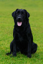 Dog breed Labrador