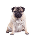 Dog breed pug sits isolated on white background Royalty Free Stock Photography