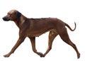 Dog breed Rhodesian Ridgeback in motion isolated Royalty Free Stock Photo
