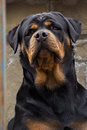 The dog breed Rottweiler