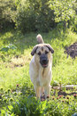 Dog of breed the Spanish mastiff on a meadow Royalty Free Stock Image