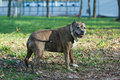 Dog breed staffordshire terrier walk on the grass Royalty Free Stock Image