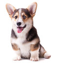 Dog breed Welsh Corgi, Pembroke Royalty Free Stock Photo