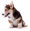 Dog breed Welsh Corgi, Pembroke Royalty Free Stock Photos