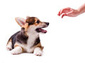 Dog breed Welsh Corgi, Pembroke Stock Photography