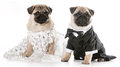 Dog bride and groom pugs isolated on white background Royalty Free Stock Photos
