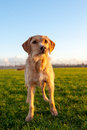 Dog a brown outside in nature on a sunny winterday Royalty Free Stock Photo