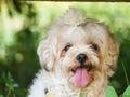 Dog Brown white. Royalty Free Stock Photo