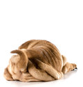 Dog bum chinese shar pei puppy from the backside isolated on white months old Royalty Free Stock Photos
