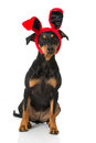 Dog with bunny ears isolated on white Royalty Free Stock Images