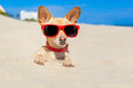 Dog buried in sand chihuahua a hole the at the beach on summer vacation holidays wearing red sunglasses ocean shore behind Stock Photos