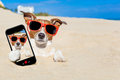 Dog buried in sand selfie jack russell the at the beach on summer vacation holidays taking a wearing red sunglasses Stock Photos