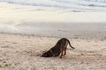 Dog burying his head in the sand at rayong beach thailand digging until Royalty Free Stock Photos