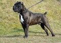 Dog cane corso italian outdoor Stock Photography