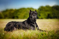 Dog Cane Corso lying on the field Royalty Free Stock Image