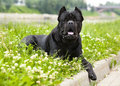 Dog cane corso purebred lying on the grass Stock Photo