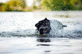 Dog Cane Corso shakes off water Royalty Free Stock Images
