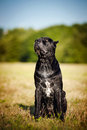 Dog Cane Corso sitting on the field Stock Image
