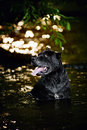 Dog Cane Corso in the water Stock Photo