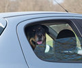 Dog in Car Royalty Free Stock Images