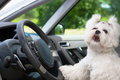 Dog in car little cute maltese the with paw on the steering wheel barking Stock Photos