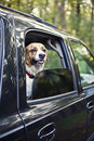 Dog car ride Stock Photo