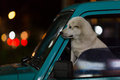 Dog in a car window waiting for it s owner Stock Images