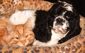 Dog and cat black white american cocker spaniel red are lying together in the their basket Stock Photography