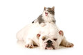 Dog and cat bored english bulldog with surprised kitten laying on top of her back isolated on white background Royalty Free Stock Photography
