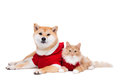 Dog and cat dressed in cristmas clothes in front of a white background Royalty Free Stock Photo