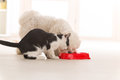 Dog and cat eating food from a bowl little maltese black white in home Stock Photo