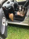Dog and cat inside the car