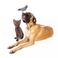 Dog and cat looking at a bird group of pets including large english mastiff laying down next to playful kitten up an african grey Royalty Free Stock Photos