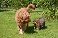 Dog and cat strolling that stroll together in a garden Royalty Free Stock Photography